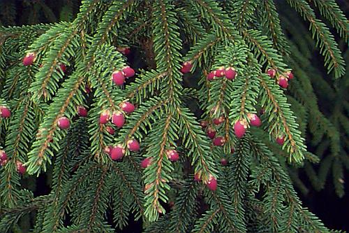 Picea Abies Norway Spruce Plant Database University Of Connecticut
