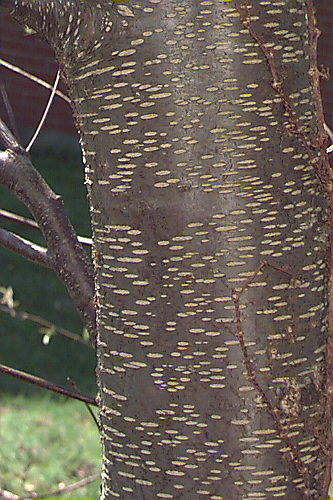 Black Cherry Tree Bark Pictures